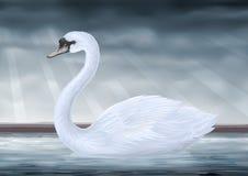 Mute Swan Royalty Free Stock Photos