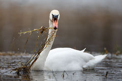 Mute swan in action Royalty Free Stock Images