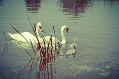 Mute swan adults and cygnets. Three young cygnets with the Cob and Pen adult swans on a quiet stream royalty free stock image