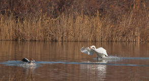 A Mute Swan attacking a goose Stock Photography