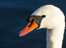 Mute Swan in the Autumn Sun Royalty Free Stock Images