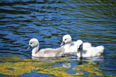 Mute Swan babies swimming on the pond.. Mute Swan family swimming on the pond stock image