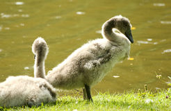 Mute swan babies Royalty Free Stock Photography
