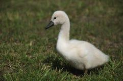 Mute Swan baby. On grass Stock Photo
