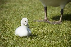 Mute Swan baby. On grass and adult swan and legs of a swan adult in the background Stock Photo