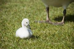 Mute Swan baby Stock Photo