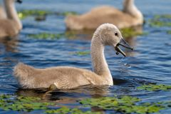 Mute Swan baby in Danube Delta. Wildlife birds and birdwatching photography and a common sighting for tourists in the Danube Delta, Eastern Europe, Romania stock photography
