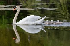 Mute swan baby. At Ambleside Park, Vancouver BC Canada royalty free stock images