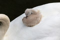 Mute swan baby Royalty Free Stock Photo