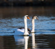 Mute swan and baby on water Royalty Free Stock Photography