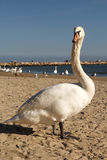 Mute swan on the beach Royalty Free Stock Image