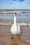 Mute swan on a beach. Stock Images