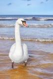 Mute swan on a beach. Stock Photos