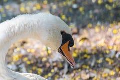 Mute Swan Beak Closeup. Mute Swan Cygnus cygnus Closeup , beak royalty free stock photography