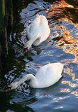 Mute Swan Beauties. Mute swans. Wales Royalty Free Stock Images