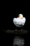Mute Swan. Beautiful adult Mute Swan sitting on a tree branch floating on river Royalty Free Stock Photo