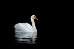Mute Swan. Beautiful adult Mute Swan swimming in Danube Delta Stock Photography