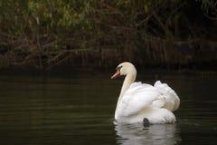 Mute Swan. Beautiful adult Mute Swan swimming in Danube Delta Stock Image