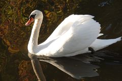 White swan in the fall in the Netherlands