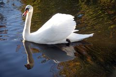 White swan in the fall in the Netherlands royalty free stock photo
