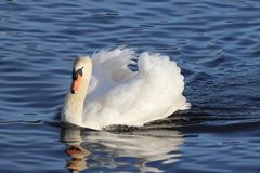 Mute Swan Beauty Royalty Free Stock Photography