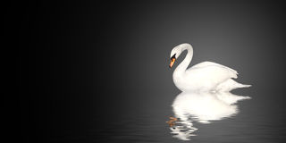 Mute swan. On black background royalty free stock photo