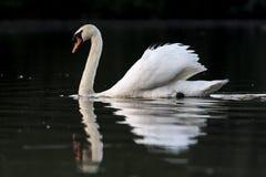 Mute swan on black Royalty Free Stock Image