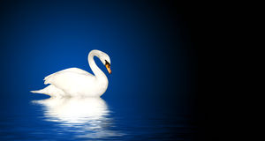 Mute swan. On blue background stock images