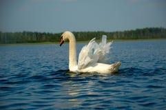 Mute Swan. But blue lake Royalty Free Stock Image
