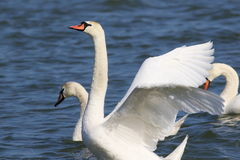 Mute swan on blue river Stock Images