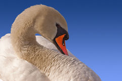 Mute Swan on Blue Sky Royalty Free Stock Photo