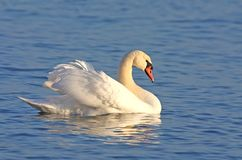 Mute swan on blue water Royalty Free Stock Images