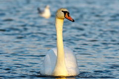 Mute swan on blue water Stock Photography