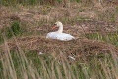 Mute swan breeding. In the nature reserve Moorgürtel Royalty Free Stock Photo