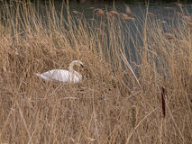 Mute Swan Building  a New Nest  Royalty Free Stock Photo