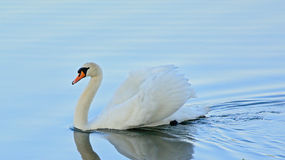 Mute swan busking (Cygnus). Mute swan swimming in a blue lake in 'busking', wings up, pose stock photography