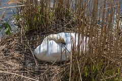 Mute Swan busy breeding the eggs for offspring in Maastricht. Mute Swan busy breeding the eggs for offspring as it is spring  and breeding season for mother royalty free stock photo