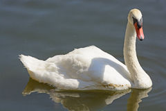 Mute Swan in a Calm Pond Stock Image