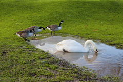 Mute Swan Canada Geese Puddle Stock Photography