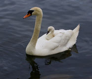 The mute swan is carrying her chick on the back Stock Photography