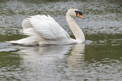 A white swan on  the water Stock Photo
