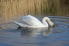A mute swan on the Ornamental Pond, Southampton Common royalty free stock photo