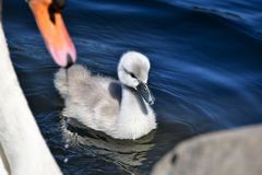 Mute Swan chick swimming on the pond. 