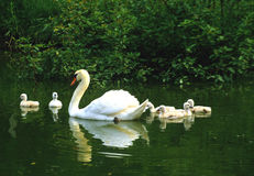 Mute Swan with Chicks. A female mute swan swimming with her chicks Stock Images
