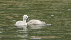 Swan Chicks. Two adorably cute swan chicks (mute swan Cygnus olor) are looking for food in a lake. Summertime, June in Scandinavia. Location: Lomma stock footage