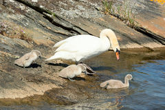Mute swan with chicks Stock Photo