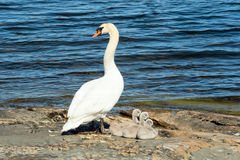 Mute swan with chicks Stock Photography