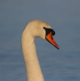 Mute Swan. At Cley,Norfolk stock images