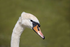 Mute Swan close up of head Stock Images