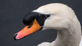 Mute swan close up on head and neck. Water droplets on face and sharp focus on eye. royalty free stock photos